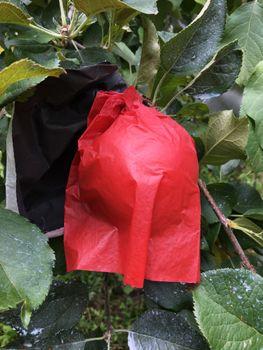 林檎日記 除袋。陽光。2021/09/10
