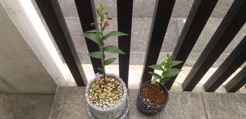 カキラン加賀の緋、黄花素心の花が見たい! 2021年6月12日