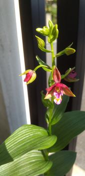 カキラン加賀の緋、黄花素心の花が見たい! 2021年6月9日