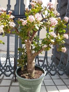 金のなる木に花を咲かせましょう。 3/8満開