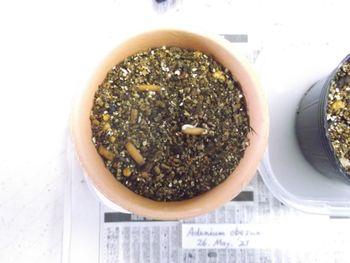 Adenium obesum種まきチャレンジ 種まきしました