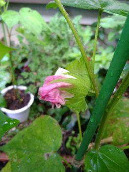 綿を種から育ててみた〜 8月4日・本日摘芯完了〜。