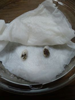 綿を種から育ててみた〜 3月21日・キッチンペーパから