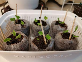 種から栽培(チンゲンサイ、ミニハクサイ、マリーゴールド)) 伸びてきました