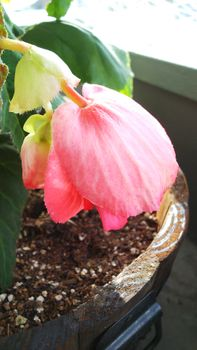 球根から球根ベゴニアを初心者が育ててみた 花が咲く少し前の球根ベゴニア