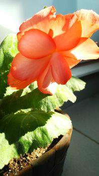 球根から球根ベゴニアを初心者が育ててみた 球根ベゴニアの花