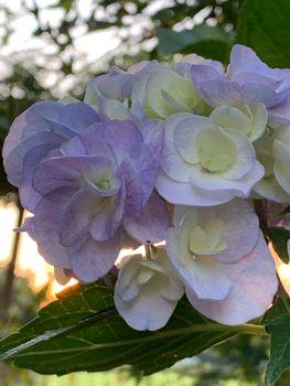 ケロの超初心者園芸・紫陽花の巻 咲いたよ〜😆