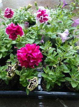 ペチュニアのローズピルエットを種から育てる 5/27 ポットのまま咲いてます