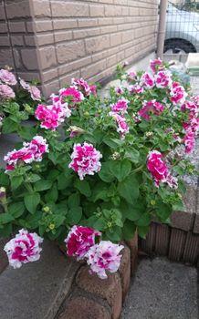 ペチュニアのローズピルエットを種から育てる いっぱい咲きました