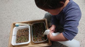 ペチュニアのローズピルエットを種から育てる 1/24 水やりシーン