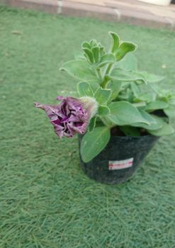 ペチュニアのローズピルエットを種から育てる 5/23 ポット増し組に蕾