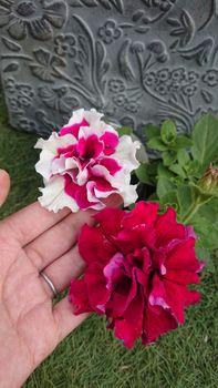 ペチュニアのローズピルエットを種から育てる 5/25 咲きました!