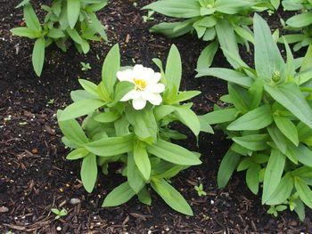 種から育てたジニアを使って花壇を作る 開花し始めました