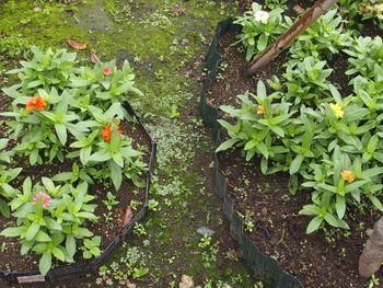 種から育てたジニアを使って花壇を作る 梅雨時の花壇