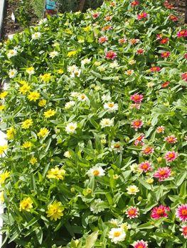 種から育てたジニアを使って花壇を作る 梅雨明け