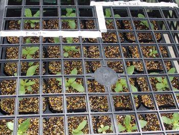 種から育てたジニアを使って花壇を作る