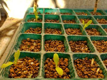 カレンデュラ(キンセンカ)を種から 5本発芽