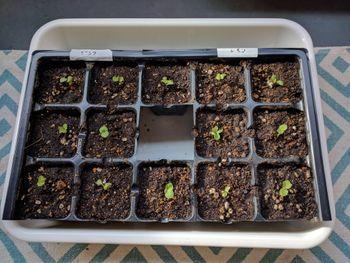 ホリホックを種から育ててみたい! 植え替え