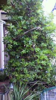 キモッコウバラ 新芽が出てきました