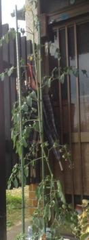 トマトの水耕栽培 ミニトマトまで!