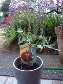 トマトの水耕栽培 苗を移植したコップを塩ビパイプに設置