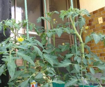 トマトの水耕栽培 大玉トマトの開花が始まりました。