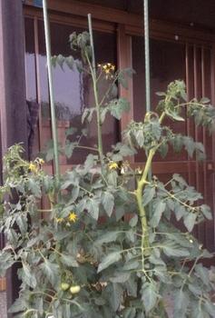 トマトの水耕栽培 トマト(3品種)の成長の観察
