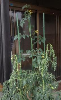 トマトの水耕栽培 びっくり!