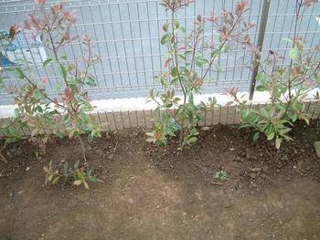 ベニカナメ 2009/5/5植え付け