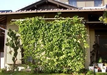 パッションフルーツの緑のカーテン 10月 パッションフルーツの緑のカーテン 10月