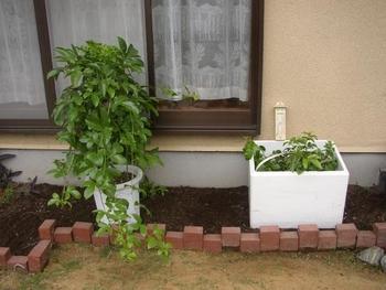 パッションフルーツの緑のカーテン 10月 今回、植えるパッションフルーツの苗