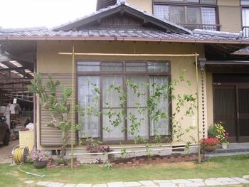 パッションフルーツの緑のカーテン 10月 パッションフルーツの植え込み、蔓の誘引