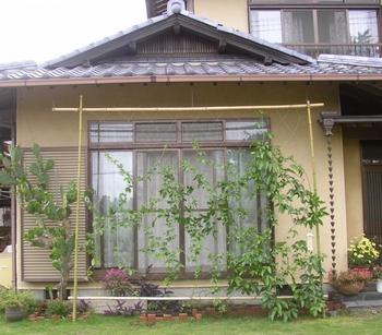 パッションフルーツの緑のカーテン 10月 植え込み後1ヵ月後の成長記録