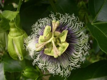 パッションフルーツの緑のカーテン 10月 パッションフルーツの花の写真