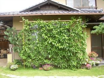 パッションフルーツの緑のカーテン 10月 植え込み後 2ヵ月後の成長記録