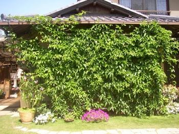 パッションフルーツの緑のカーテン 10月 植え込み後3ヵ月半の成長記録 9/10