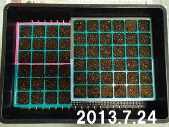 夏蒔きビオラに挑戦2013 種まき