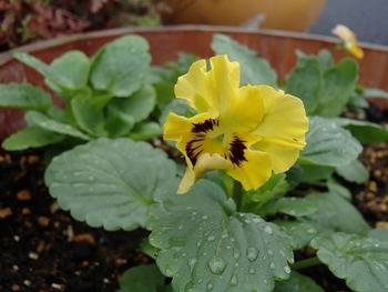 夏蒔きビオラに挑戦2013 フラメンコ混合開花