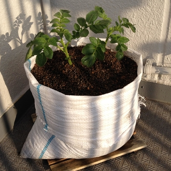 秋 ジャガイモ の 植え付け