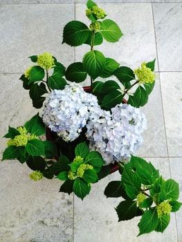 花芽が・・・ 花盛り
