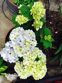 花芽が・・・ こちらの鉢も花盛り