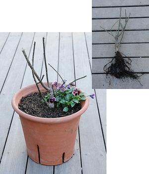 大苗から育てるルシファー 131228 植え付けしました。