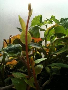雲南百薬(オカワカメ)【1】 ここにも芽が