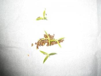 自家採りのタネのパンジー栽培 タネの鞘がはじけた!