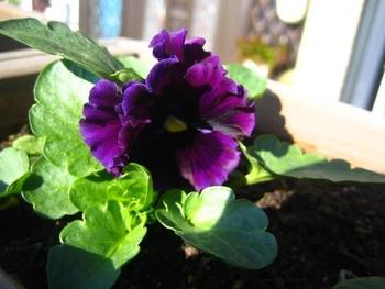 自家採りのタネのパンジー栽培 他の株も開花!