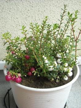 ハッピーベリー(ペルネチア・真珠の木)の育ち方 植え付け