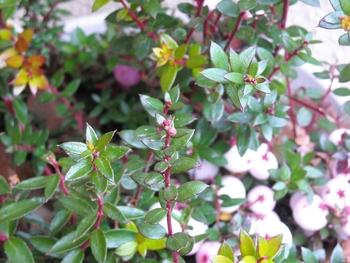 ハッピーベリー(ペルネチア・真珠の木)の育ち方 蕾?