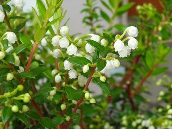 ハッピーベリー(ペルネチア・真珠の木)の育ち方 花が咲き進んでいます!