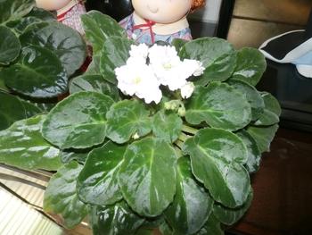 セントポーリア 白花(ピンクの縁取り)