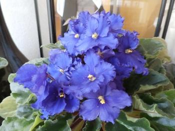 セントポーリア 紫